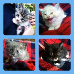 Please adopt us! We need homes! All are male, around 7 weeks old, VERY well tempered! Will make a great addition to a family that will give them the love they deserve! Top left: Sergio- grey and white with stripes! Loves to fall asleep in your lap! Top right:  Simba- creamy orange color, white paws, super fluffy and soft! Can sleep just about anywhere, great companion! Bottom Left: Gizmo- grey with white patches, very soft, smallest of the litter, he is a sweetheart! Bottom right: Zeus…