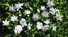 Gardenias, my favorite Lawn And Garden, Home And Garden, Grandmas Garden, White Gardenia, Dendrobium Orchids, Cool Plants, Gardening Tips, Landscape, Outdoor Decor