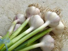 Photo about Fresh green garlic after ingathering. Image of bulbs, ingathering, spice - 10318338 Autumn Garden, Green Garden, Garden Plants, Allium, Fresh Green, Vegetable Garden, Spices, Stock Photos, Vegetables