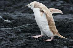 manchot à jugulaire mutation albinos (pygoscelis antarcticus)