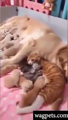 A cat and dog breastfeeding - It is all about nurturing. It is all about nurturing. It is all about nurturing. Cute Funny Animals, Cute Baby Animals, Animals And Pets, Cute Cats, Funny Cats, Cute Animal Videos, Funny Animal Pictures, Love Pet, Animals Beautiful