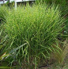 Miscanthus strictus (Porcupine grass)