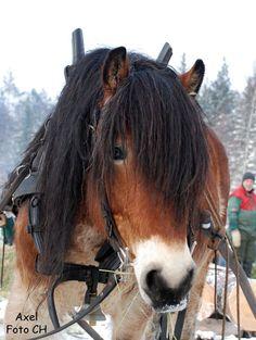 Nordsvensk häst. North Swedish horse
