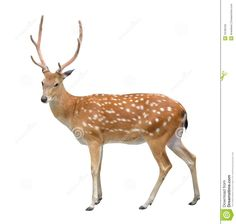 "Sika Deer.    (""Male Sika Deer Stock Photography - Image: 19196162."")"