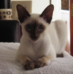 Siamese Chocolate Point cat.