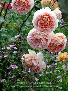 Rose_Abraham_Darby_ - Achizitii trandafiri 2013