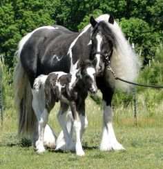 Gypsy Horse, Gypsy Vanner Horses of Feathered Gold Stables