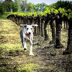 Ok Monday, let's do this!  Repost @lavidawines #thedogsofwine ・・・ Wouldn't you be this happy if you were here? #Vineyard #Wine