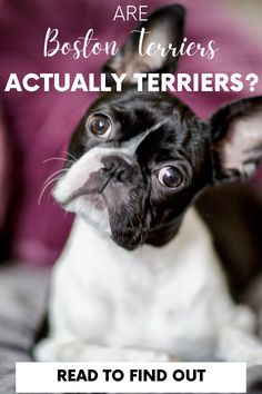 Are you wondering if a Boston Terrier is actually a terrier? The short answer is no, read on to find out all the information. #bostonterriersociety #bostondogs #dogs #doglove #terriers Dog Pictures, Animal Pictures, Diy Dog Treats, Family Dogs, Dog Paws, Dog Owners, Dog Love, Dog Training, Best Dogs