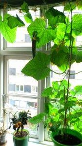 Eneste negative oplevelse ved agurken i vindueskarmen var, at stuen blev en smule dunkel sommeren igennem...