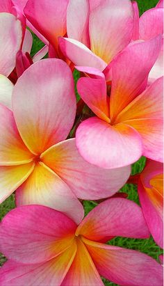 ~~Happy Plumerias by Pink Hibiscus~~