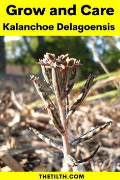"""Kalanchoe Delagoensis """"Chandelier Plant"""" Types Of Succulents, Succulent Care, Chandelier, Amazing, Plants, Candelabra, Chandeliers, Plant, Candle Holders"""