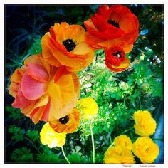 Poppies by the side of the road. #freshwater #sydney #flowers #walk