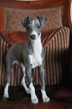 Puppy...Italian Greyhound, I had one named Chloe looked just like this one. I named my Leopard Turtle after her, in her memory.