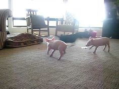 Cute pigs playing with a dog.  This is why you shouldn't eat ham or bacon.