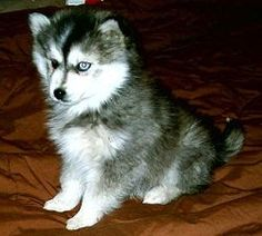 The Miniature Siberian Husky is often mistaken for the Alaskan Klee Kai, with whom it shares similar qualities. However, the Alaskan Klee Kai was bred from the Alaskan Husky, Schipperke, and American Eskimo. Miniature Siberian Huskies are smaller versions of Siberian Huskies. They share the same basic genetics and temperament, and are not yet considered a separate dog breed.
