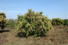 High density #Orcharding in #FruitCrops: Approaches and Strategies #Agriculture