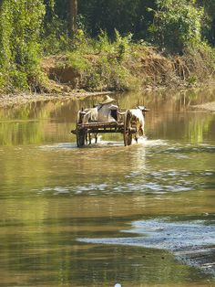 An Ox-cart crossing the Inle lake - Myanmar