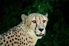 Cheetah at the Cleveland Zoo