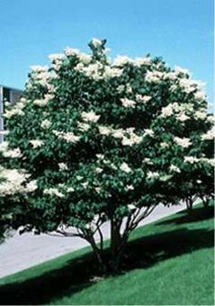 Snowdance Japanese Tree Lilac Trees For Your Landscape