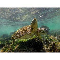 #Galapagos la mejor experiencia junto a la naturaleza tortuga marina nadando a mi lado / the best nature experience turtle swimming by muy side San Cristóbal Island  Vive tu mejor #aventura con #Rutaviva#TravelTheWorld  Los mejores #HOTELES DESTINOS y SERVICIOS encuéntralos en http://ift.tt/2nuTUfm Photo: @andres_paredes26 #EcuadorNow#ViajaPrimeroEcuador#FeelAgainInEcuador  #Ecuador#FamiliaViajeraEcuador  #allyouneedisecuador #travelblogger #mochileros #natgeotravel#SoClose #LikeNoWhereElse…