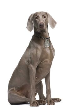 Weimaraners were traditionally used by royalty for hunting large game such as deer, boar and even bear. This powerful and intelligent action dog looks great in his dog-tag by Cai.  https://www.facebook.com/InutiDesignerJewelleryLtd