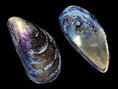 The blue mussel, Mytilus edulis, is a medium-sized edible marine bivalve mollusc in the family Mytilidae.