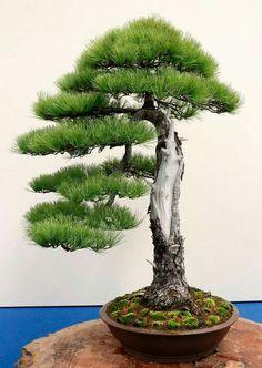 Taiwan 2017 BCI Convention & Asia-Pacific Bonsai & Viewing Stone Convention & Exhibition– Part 5 Buy Bonsai Tree, Bonsai Tree Care, Bonsai Tree Types, Indoor Bonsai Tree, Jade Bonsai, Juniper Bonsai, Bonsai Forest, Bonsai Garden, Garden Trees