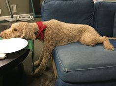 Sleepy poodle Oliver is a 3 year old apricot standard poodle