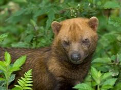 The beautiful Bush Dog is listed as 'Near Threatened' on the IUCN Red List of Threatened Species. It lives in social groups in Central and South America. Photo © Hudson Garcia
