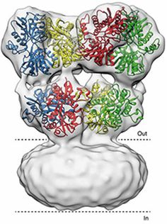 Structural States of a Brain Receptor Revealed - NeuroscienceNews.com - Structure of the glutamate receptor, showing the part where glutamate binds outside the cell and the part that spans the cell membrane (between the dotted lines). Image Credit Subrama
