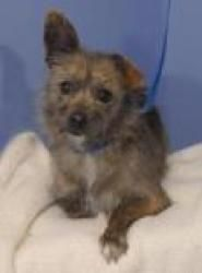 Nellie is an adoptable Terrier Dog in Evans, CO. All adoptions include: Spay/neuter If the animal is not yet spayed or neutered: Every animal will be spayed or neutered prior to going home with adopte...
