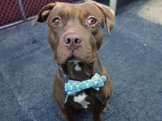 TO BE DESTROYED - 09/08/14 Manhattan Center -P  My name is JACKSON. My Animal ID # is A1012114. I am a male brown pit bull and dogue de bordx mix. The shelter thinks I am about 2 YEARS old.  I came in the shelter as a STRAY on 08/27/2014 from NY 11203, owner surrender reason stated was OWN ARREST.