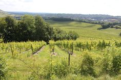 Vineyards in South East England. Denbies Wine Estate in Dorking