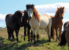 The Icelandc breed comes in many coat colors, including chestnut, dun, bay, black, gray, palomino, pinto and roan. There are over 100 names for various colors and color patterns in the Icelandic language.Icelandic horses, near Blonduos, northern Iceland; summer, early afternoon
