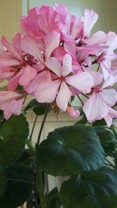 Riippupelargonia \'Dark Caliente Pink\' | Pelargoniat | Pinterest