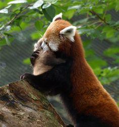 chester_red_panda_3_4c88c51a1afcb.jpg (636×680)