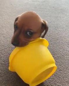 Cute Baby Dogs, Cute Funny Dogs, Cute Funny Animals, Cute Baby Animals, Cute Puppies, Doxie Puppies, Miniature Dachshund Puppies, Daschund, Doggies