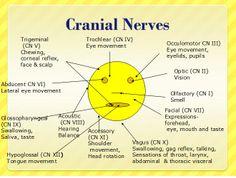 Mnemonics for Cranial Nerves | ... ://www.nursereview.org/2008/09/12-cranial-nerves-anatomy-diagram.html Nursing School Graduation, Nursing School Tips, Nursing Career, Ob Nursing, Nursing Schools, Cranial Nerves Anatomy, Nerve Anatomy, Anatomy And Physiology, Dental Humor