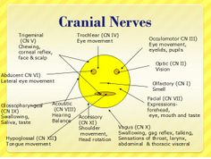 About cranial nerves on pinterest cranial nerves cranial nerve