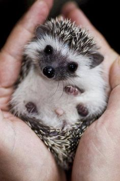 My boyfriend talked about getting a German Shepard. Then he rescued a baby hedgehog.  This actually didn't shock me. #humblestrength