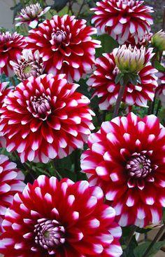 ~~Karma Yin Yang Dahlia   ~een van de mooiste in onze tuin