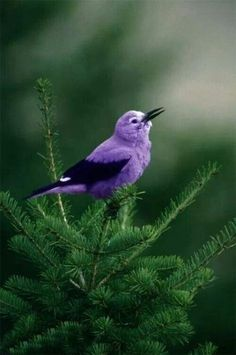 It might not be all that common, but here is another beautiful purple bird for you to enjoy.