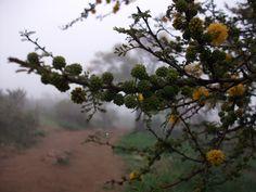 Floración de espino (Acacia caven)