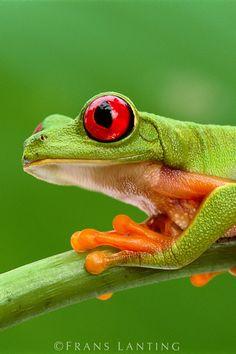 Red-eyed Tree Frog, Agalychnis callidryas  -   Barro Colorado Island, Panama