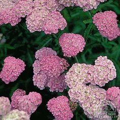 Achillea millefolium 'Apple Blossom' has soft-pink flowers. Good for cutting, fresh or dried. Remove faded flowers regularly to promote continued blooming. Inclined to spread, so site this carefully or plan to reduce the clumps each spring. Easily divided in fall or early spring. Plants may be trimmed back hard after the first flush of bloom to maintain a compact habit. Heat tolerant. 18-27'' x 18-23''.