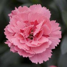 Dianthus 'Oscar' Pink