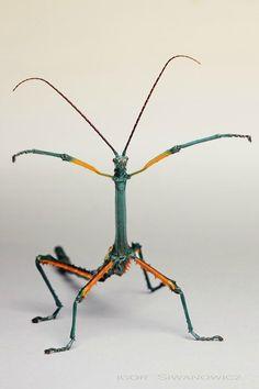 Achrioptera fallax male: Photo by Photographer Igor Siwanowicz