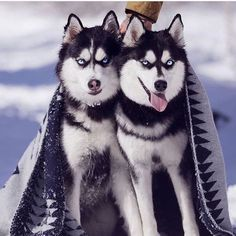 Wonderful All About The Siberian Husky Ideas. Prodigious All About The Siberian Husky Ideas. Alaskan Husky, Alaskan Malamute, Cute Husky, Husky Puppy, Dog Photos, Dog Pictures, Husky Mignon, Siberian Husky Facts, Siberian Huskies