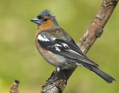 Birds Print featuring the photograph Male Chaffinch by Guido Montanes Castillo Chaffinch, Canvas Prints, Art Prints, Bird Feathers, Bird Houses, Great Artists, New Art, Fine Art America, Nature Photography